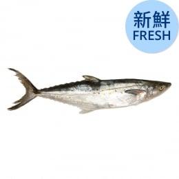 Fresh Spanish Mackerel-L