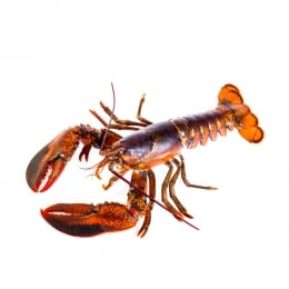 Live Canner Lobster 1Each